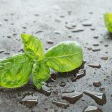Basilikum mit Wassertropfen