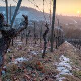 Knorrige Rebe im Weinberg mit Schnee und Sonne