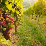 Weintrauben im Weinberg im Sommer
