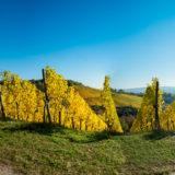 Weinberg Panorama im Herbst