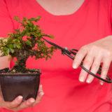 Bonsaibaum und Bonsaischere