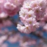 Rosa Blüte Kirschblüte