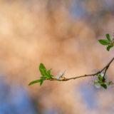 Zweig mit Neuaustrieb im Frühjahr