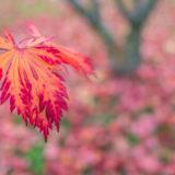 Blatt Fächerahorn im Herbst