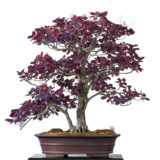 Perückenstrauch (Continus obovatus syn) als Bonsai-Baum