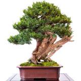Gemeine Eibe als Bonsai-Baum
