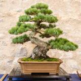 Mädchenkiefer (Pinus parvifolia) als Bonsai Baum