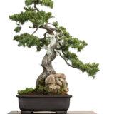 Igel-Wacholder (Juniperus rigidus) als Bonsai-Baum