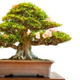 Alter Rhododendron Bonsai Baum mit Blüten