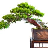 Eibe (Taxus baccata) als Bonsai Baum Halbkaskade
