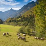 Herde Schafe im Trettachtal mit Trettachspitze im Allgäu
