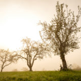 Obstbäume im Morgennebel