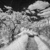 Feldweg mit Weinberg und Baum