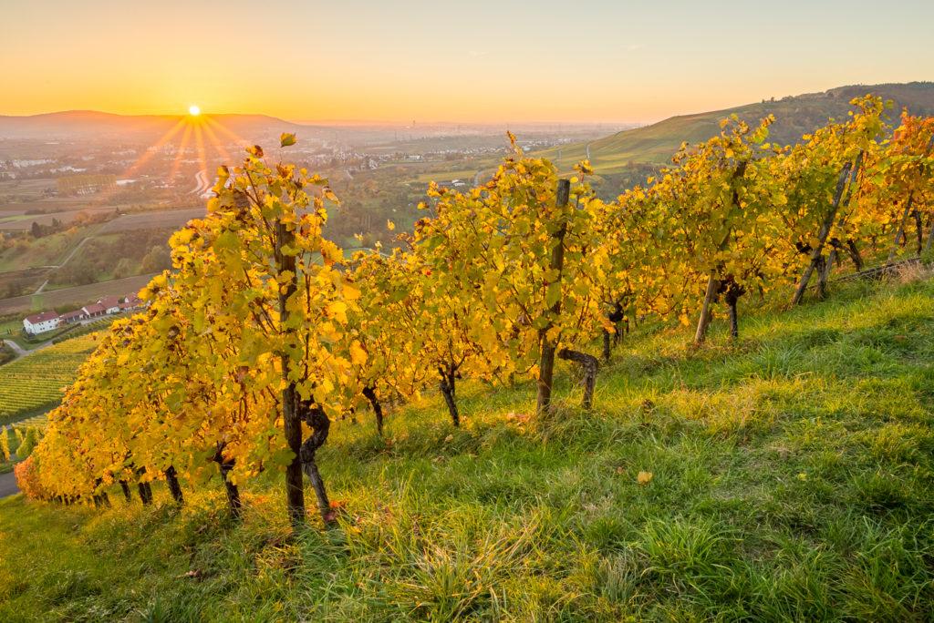 Weinberg im Herbst mit Sonnenstrahlen