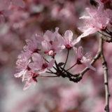 Rosa Blüten der Blutpflaume (Prunus cerasifera)