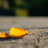 Herbst Laub in gelber Färbung