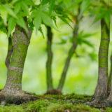 Bonsai Fächerahorn Wald