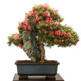 Rhododendron indicum Bonsai