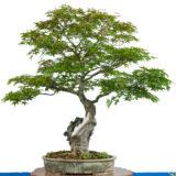 Ahornbaum (Acer palmatum) als Bonsai