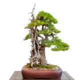 Lärche als Bonsai Baum