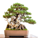 Alte Berg Kiefer (Pinus mugo) mit Totholz als Bonsai Baum
