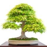 Alter Ahornbaum (Acer palmatum) als Bonsai Baum