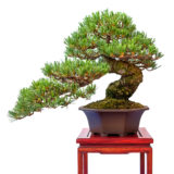 Mädchenkiefer (Pinus parviflora) als Bonsai Baum