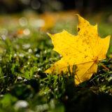 Ahornblatt in Herbstfärbung