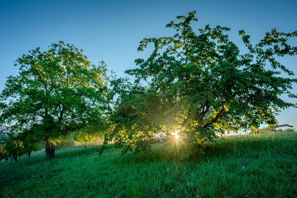 Kirschbäume im Gegenlicht